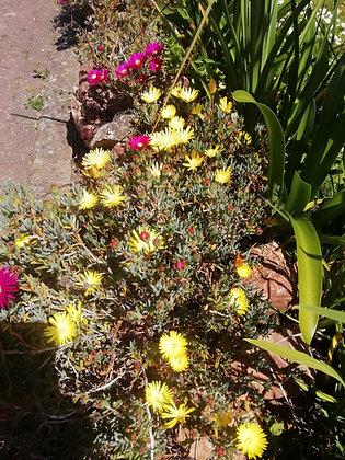 Lampranthus 'Yellow'