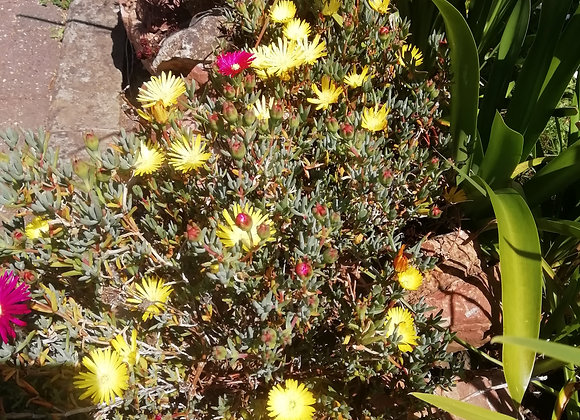 Lampranthus 'Yellow'