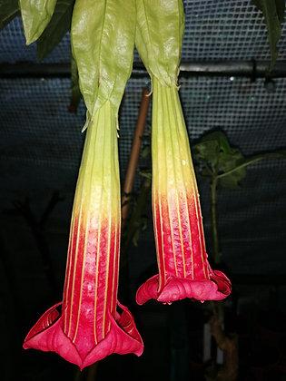 B. sanguinea x noid (USDA 9a - 11)