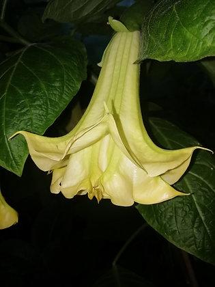 B.'Triple A' - (USDA 9b - 11)