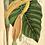 Thumbnail:  Colocasia esculenta