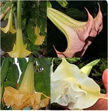Brugmansia noid (11cm pot)