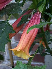 Brugmansia Vulcanicola