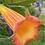 Thumbnail: Sphaerocarpium Brugmansia Collection