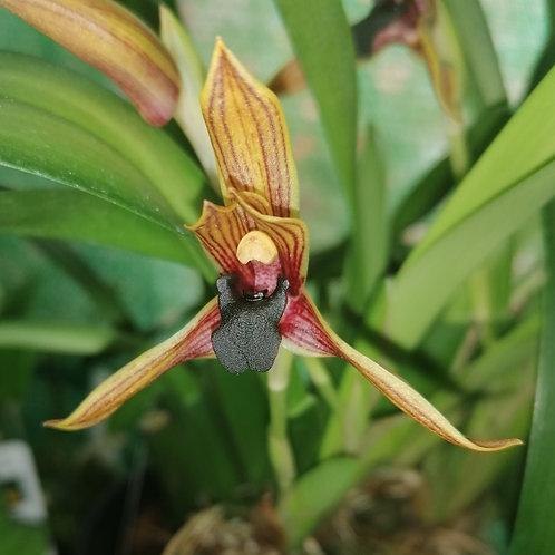 Camaridium praestans (syn. Maxillaria praestans)