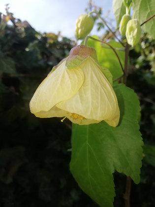 Abutilon (yellow)