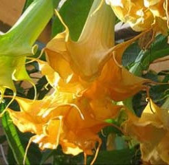 Double Flower Collection (3 Brugmansia Plants)