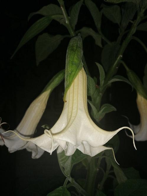 B. arborea (wild form) - Single White (USDA 9a - 11)