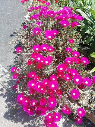 Lampranthus 'pink'