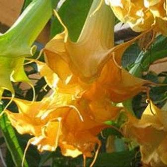 B.'Anja' - Double Yellow (USDA 9b - 11)
