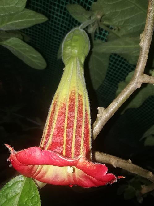 B. sanguinea x arborea (IRF) (USDA 9a)