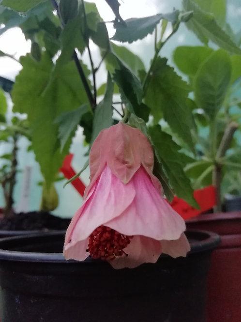 Abutilon 'Pink Charm' (USDA 9b)