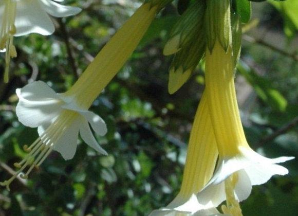 Cantua buxifolia alba