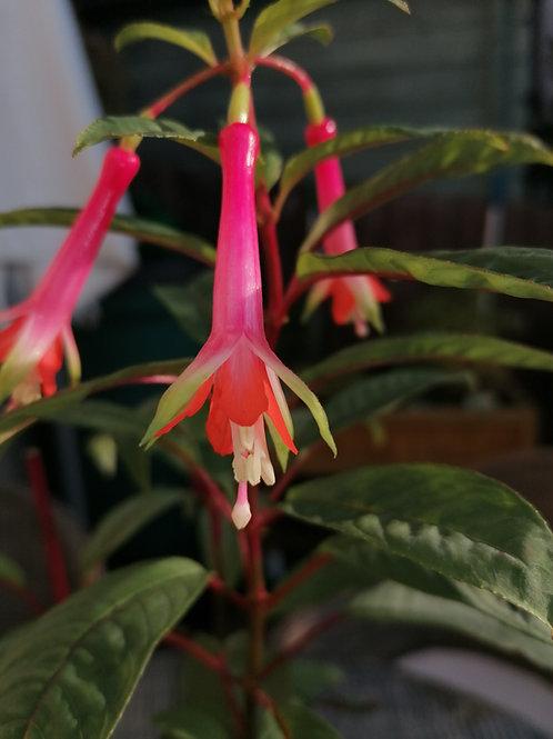 Fuchsia Denticulata