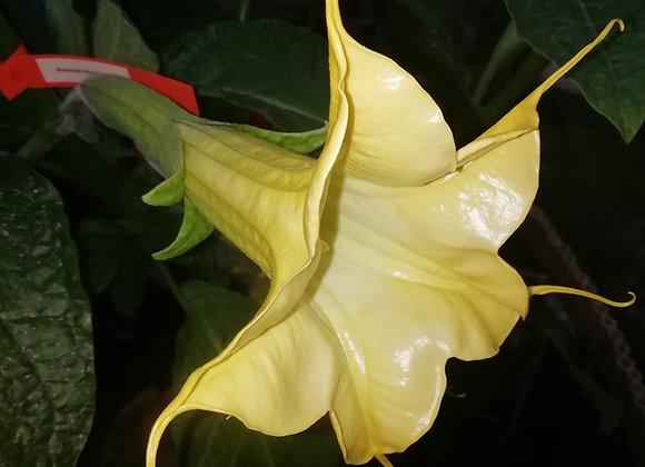 B. aurea 'Goldenes Kornett' - Single Yellow (USDA 9b - 11)