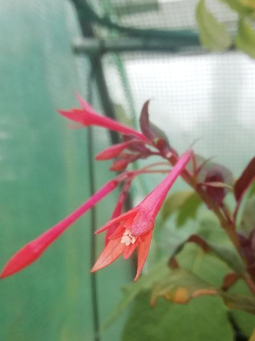 Fuchsia Thalia
