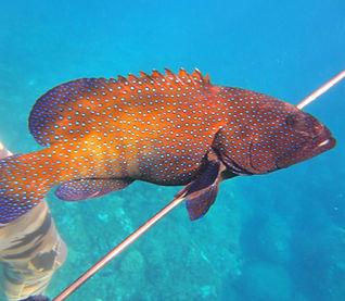 Invasive spearfishing on maui