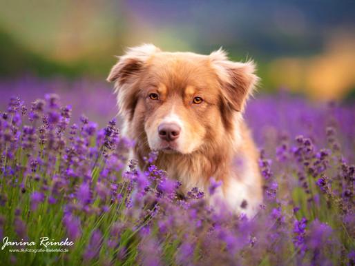 Momo im Lavendel