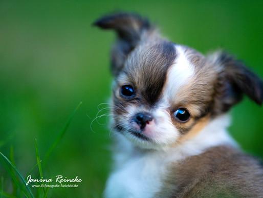 B-Wurf Chihuahuas von der Sparrenburg