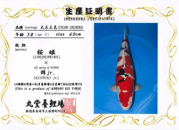 Taisho Sanke 69cm 3 yrs
