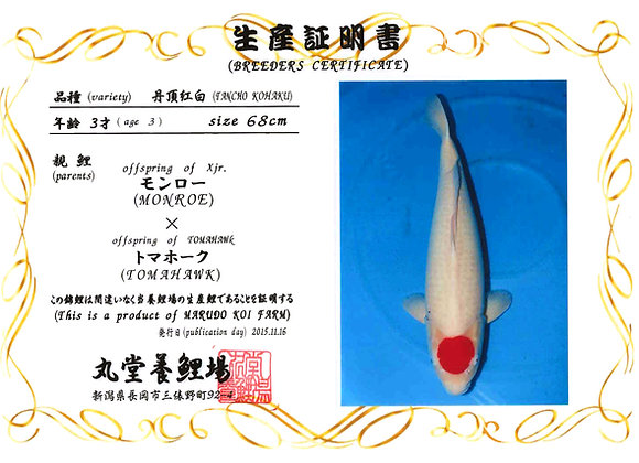 Tancho Kohaku 68cm 3yrs