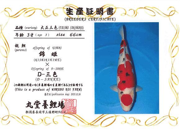 Taisho Sanke 66cm 3yrs