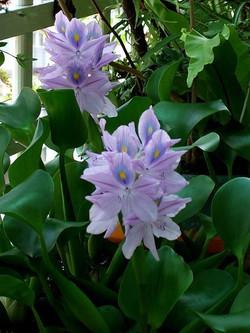 water-hyacinth-on-porch-pond-plants