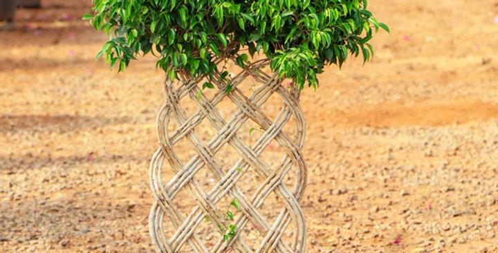 Cage Ficus Benjamina Bonsai
