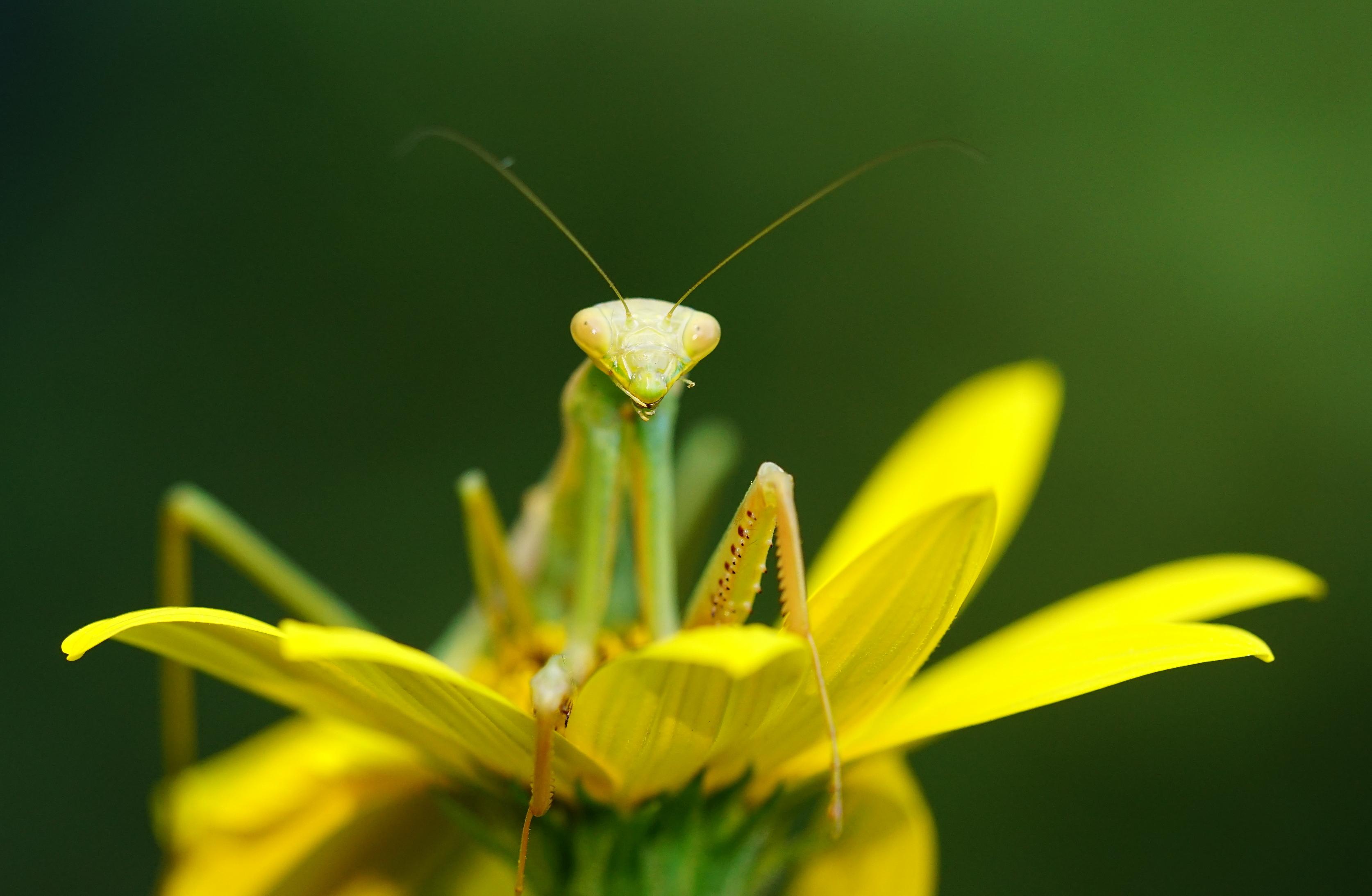 mantis frente