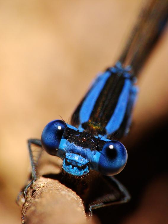 dragonfly azul