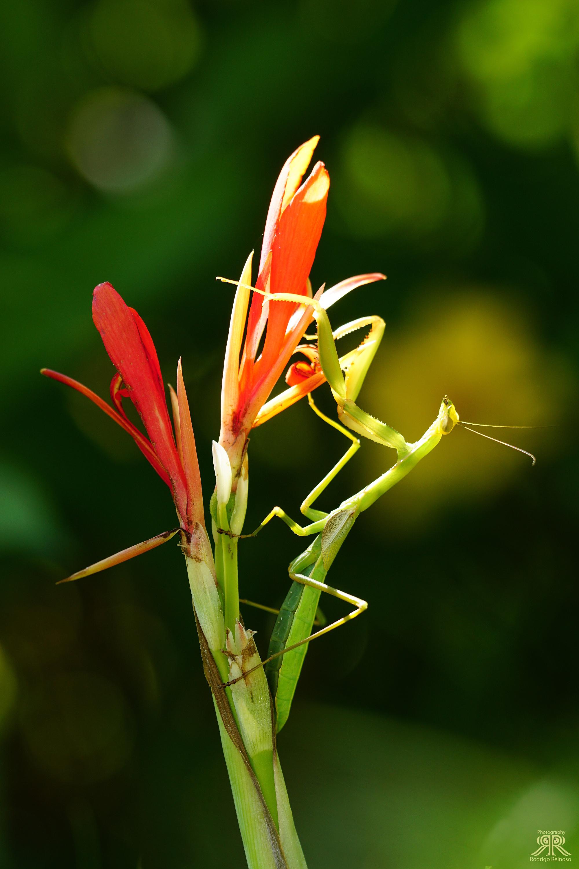 mantis en flor