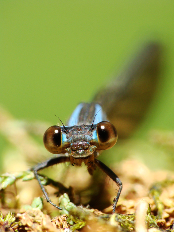 Zygóptera Feliz
