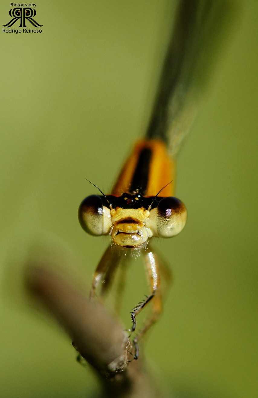 zygoptera naranja