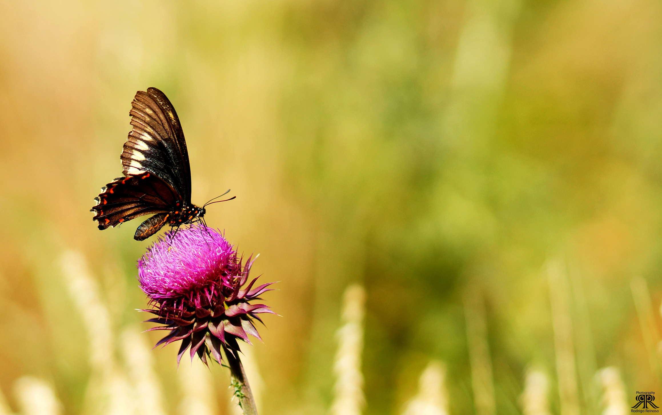 butterfly en cardo