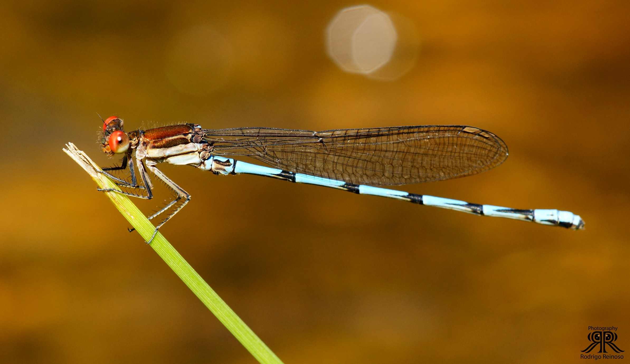 zygóptera perfil