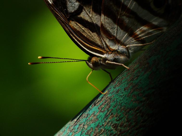 Butterfly Brasil