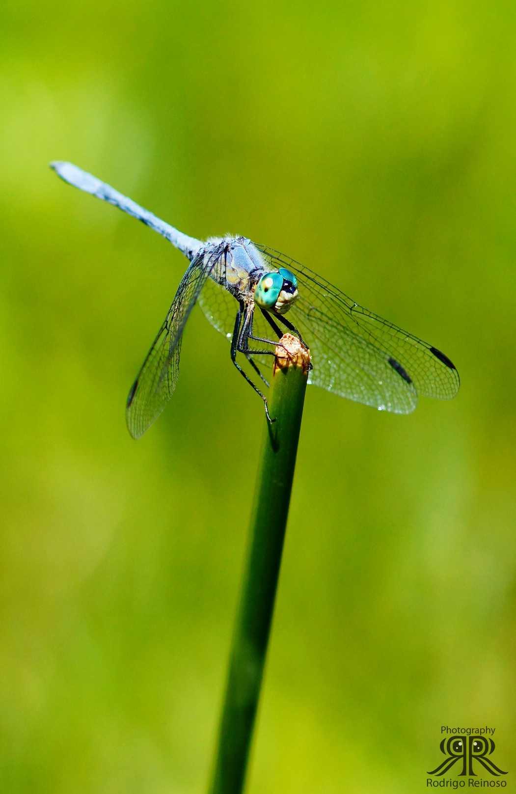 libelula anisoptera
