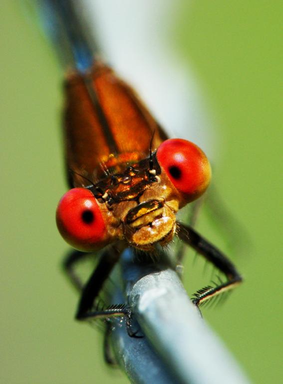 zygoptera ojos rojos