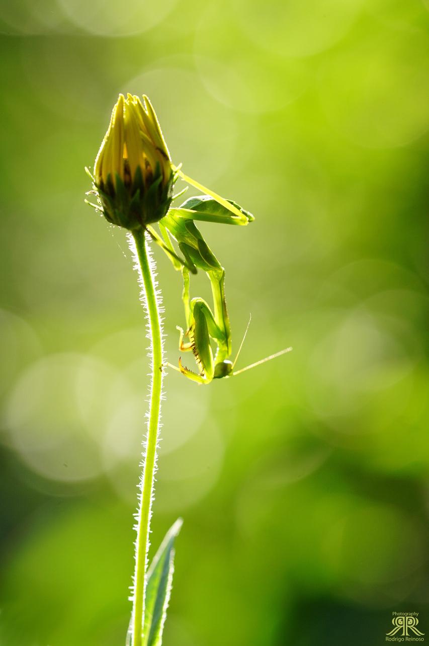 mantis macho