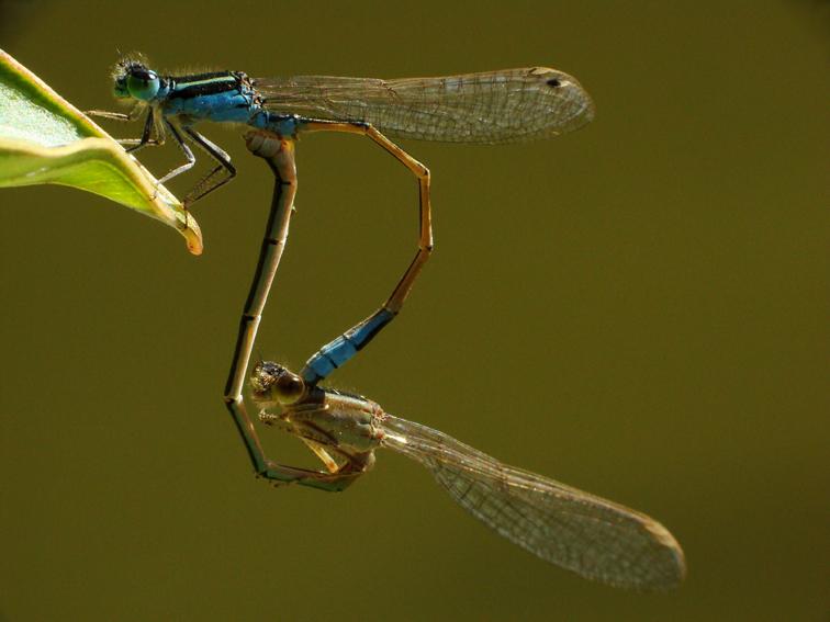 Zigopteras sex