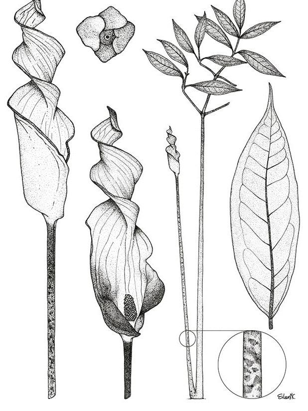 Anaphyllopsis pinnata..jpg