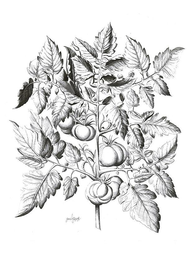 Solanum_lycopersicum._En_memoria_de_Basi