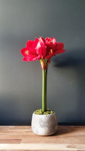 """""""Red Amaryllis"""""""
