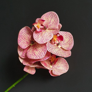 two tone pink orchid