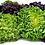 Thumbnail: Living Lettuce (Red & Green)
