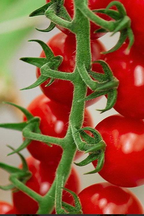 Cherto Tomatoes