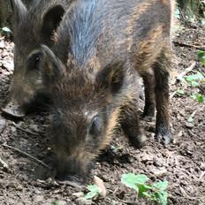 DasComebackder Wildschweine. Eine UNIVERSUM-Dokumentation. Erstausstrahlung2018.