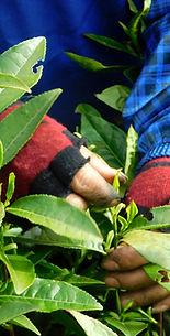 Cueillette du thé primeur à Jin Shan