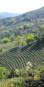 Jardin de thé à Long Jing (Chine)