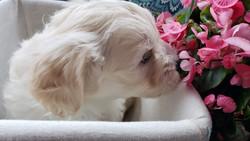 Coton Puppy